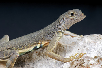 earless lizard / Cophosaurus texanus