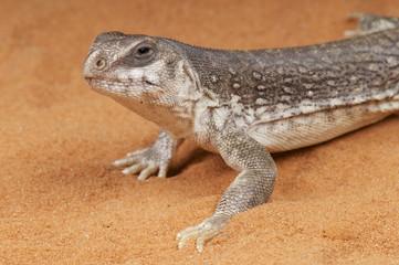 Desert iguana / Dipsosaurus dorsalis