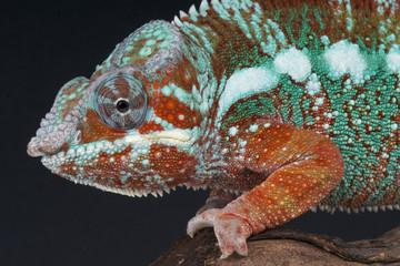 Panther chameleon / Furcifer pardalis