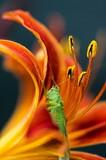 Fototapeta pasikonik - pomarańczowy - Insekt