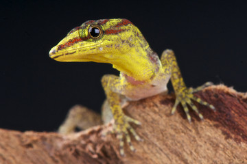 Bridles forest gecko / Gonatodes humeralis