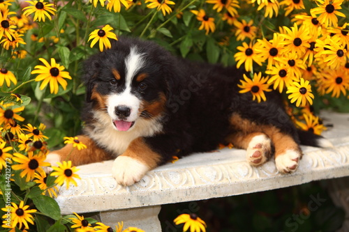 Bernese Mountain Dog On Bench