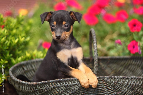 Mini Pinscher Puppy Sitting In Basket