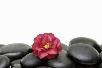 red Camellia flower on pile zen stone