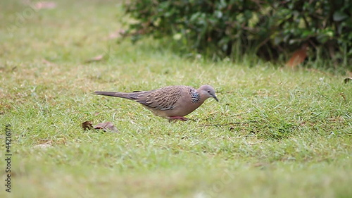 Birds,Zebra dove insects living on grass.