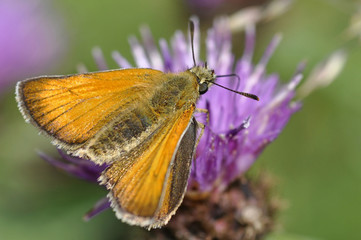 Skipper Butterfly On Clover Flower