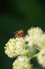 コガタスズメバチとウドの花 ‐vespa‐