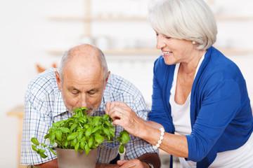 älterer mann riecht an basilikum