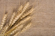 Wheat over the canvas background