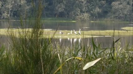 Australische Pelikane