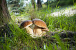 Leinwanddruck Bild - Three mushrooms - (Borowik edulis)