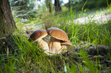Fototapety Three mushrooms - (Borowik edulis)
