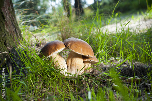 Leinwanddruck Bild Three mushrooms - (Borowik edulis)