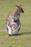 wallaby with joey 6949 poster