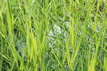 grüne Uferpflanzen, Teichpflanzen
