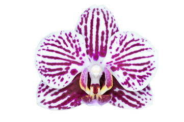 Phalaenopsis 'Taida Little Zebra'  isolated on white background
