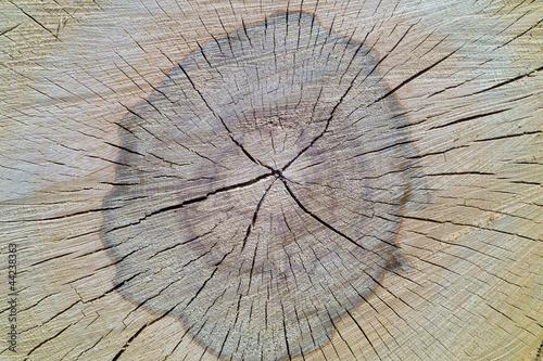 Beech tree texture