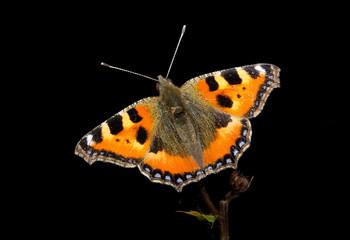 small tortoiseshell butterfly, bright against dark background