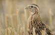 quail - 44242935