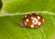Ladybug sitting on leaf, extreme close-up