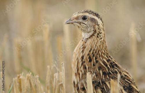 Deurstickers Jacht quail