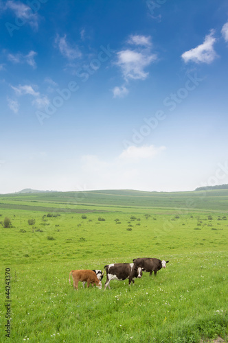 Cows in the grassland