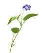 Heath Violet, Viola canina isolated on white background
