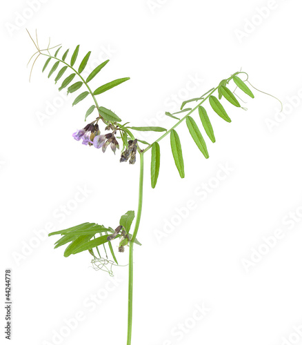 Bush vetch, Vicia sepium isolated on white background