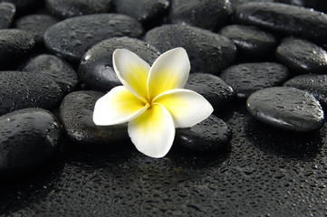 Bright frangipani on wet black peddles