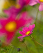 Summer garden, beautiful cosmos flowers