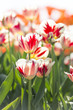 Beautiful fresh tulips in blossom