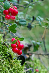 Closeup of red lingonberries