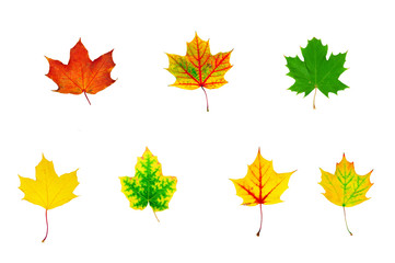 group of multicolored maple leaves