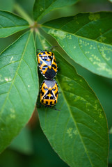 Beetles on Leaf