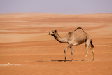 Single camel walking through  dunes in the United Arab Emirates