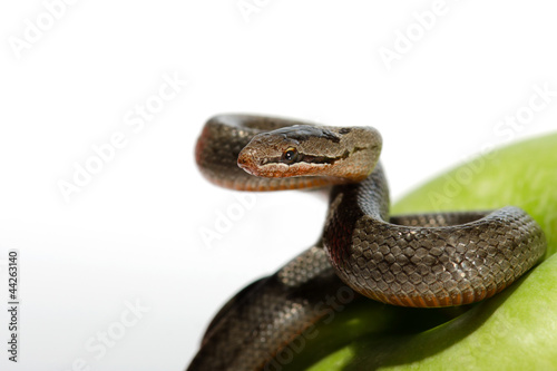 A snake coiled on an apple against a white background
