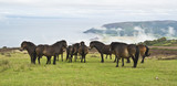 wild ponies on top of Porlock Hill