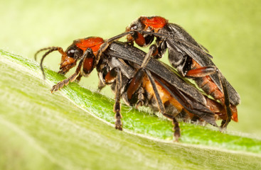 soldier beetle (cantharis fusca) mating