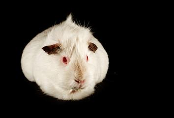 guinea pig family pet