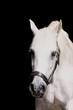 weisses pferd vor schwarzem hintergrund