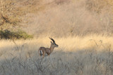 Chinkara-Indian Gazelle grazing in Ranthambore National Park