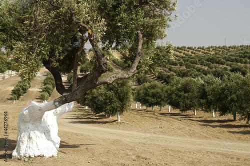 Tuinposter Olijfboom Olive trees in plantation