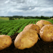 Freshly dug potatoes on a field