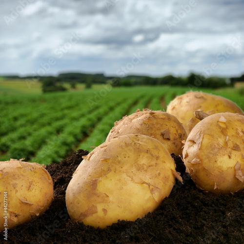 Fototapeten,kartoffel,gemüse,feld,ackerbau