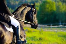 Noir cheval frison au coucher du soleil avec le pilote