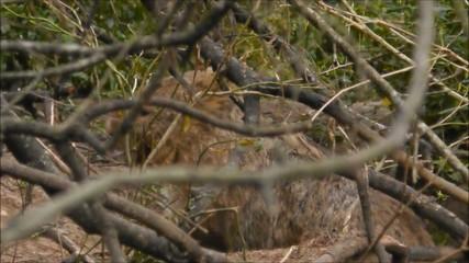 Ein Wombat erwacht