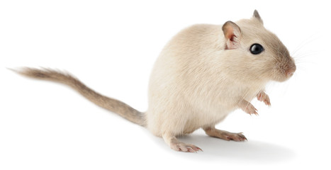 Cute little gerbil isolated on white