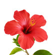 Fototapeten,hibiscus,blume,schöner,blühen