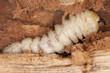 Tragosoma depsarium larva in pine wood
