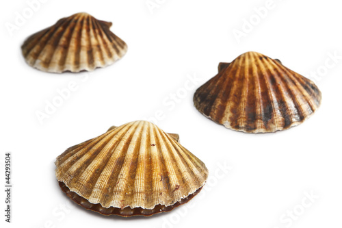 Isolated on white alive scallops